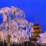 京都の桜は4月上旬が見頃!2019年見頃・ライトアップ情報まとめ。